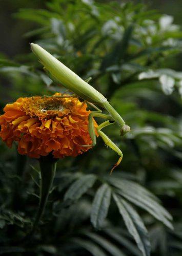 फट्याङ्ग्रो र सयपत्री फूल