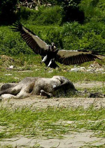 Vultures swing back in Pokhara